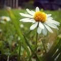 Minuscule Daisy flower