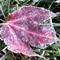 frosty leafjpg
