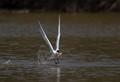 Caspian tern hunting