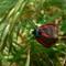 Cinnabar-Moth-3