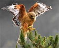 Red Shoulded Hawk 4