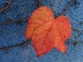 Autumn Leaf on a Blue House Wall