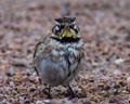 Horned Lark on a damp morning in KS