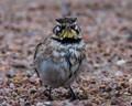 Horned Lark on a damp morning in KS