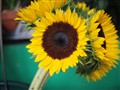 Bodega Sunflower