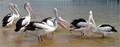 Gossiping Pelicans