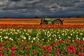 John Deer Tulip Field at Sunset