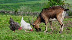 Old English goat, and hens