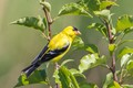american goldfinch ( spins tristis)