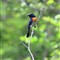 Blue throated flycatcher2