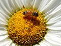 Honey Bee on a Daisy Blossom