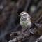 Blåhake - bluethroat (Luscinia svecica)-5