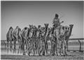 Racing Camels