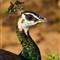 Peacock Hen