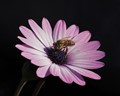 Honey bee on single flower