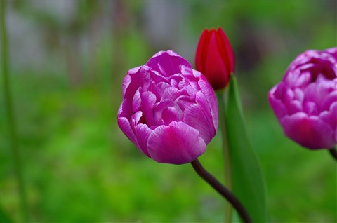 Golden Purple Tulips