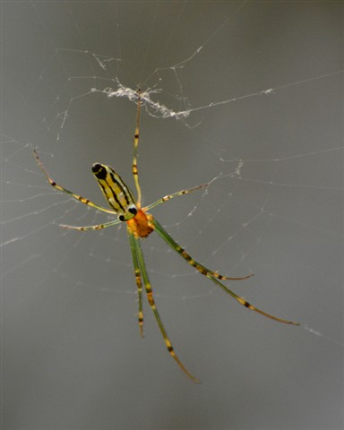 Orchard Spider (Leucauge decorata)