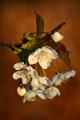 blossom02