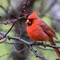 Male Northern Cardinal in drizzel