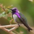 Purple Gorget (of a male Costa's Hummingbird)