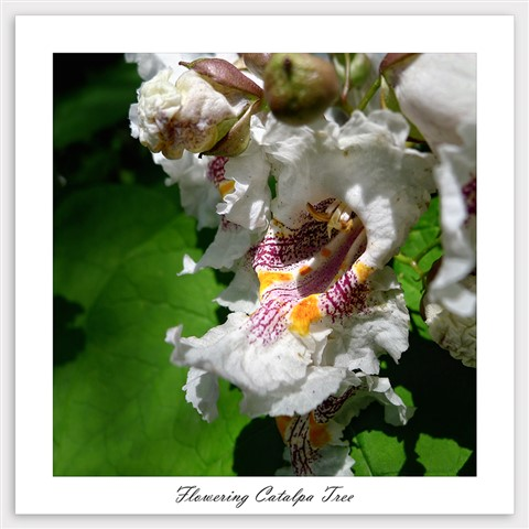 Flowering Catalpa