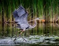 Great Blue Heron running with its catch