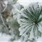 Pine needle-20101210-091850