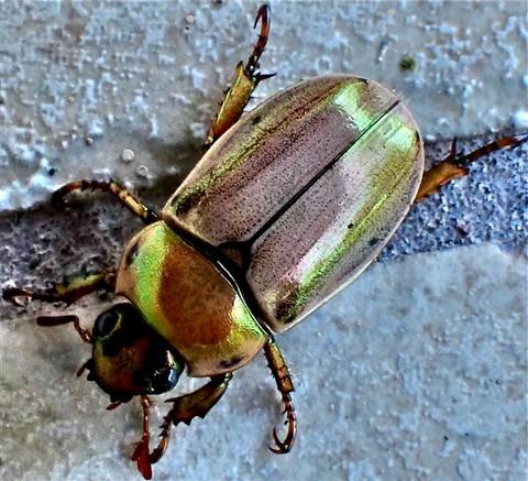 Beetle 100544