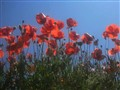 Poppies looking at the sky