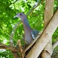 Wild dove on nest