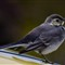 pied wagtail chick