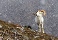 Alaska Snow Sheep