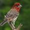 House Finch, male:
