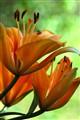 Evening Lilies
