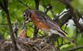 American robin feeding its babies