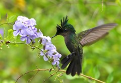 Antillean Crested Hummingbird refuelling