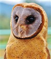 Young Ashy Faced Barn Owl