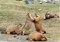 Playful Himalayan Marmots