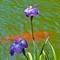 Indigo fflower in koi pond:
