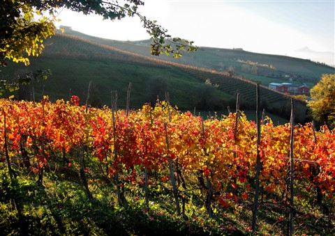 old style vineyard in Belvedere Langhe