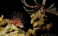 Lionfish with matching Crinoid at Night