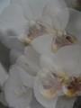 Fuzzy Orchidea