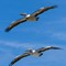 Pelicans and Gulls-9