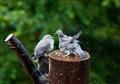 Doves in spring shower