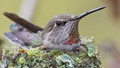 Anna Hummingbird Protecting Youngsters from the Rain