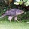 Sparrow Hawk 2114