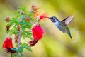 Anna's Hummingbird-3971