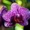 orchid 002