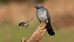 Cuckoo & Stonechat
