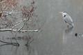 A grey heron was my snow hero